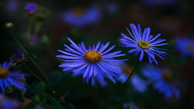 Бесплатные фото Herfst asters,цветы цветок,макро,астра,флора