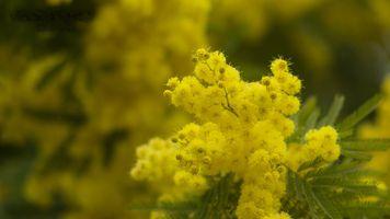 Бесплатные фото мимоза, ветка, цветы, флора