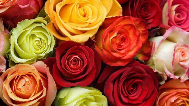 Photo free rose, mixed, many roses