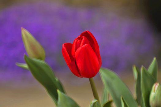 Цветок красных тюльпанов
