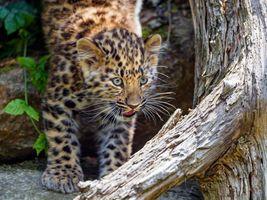 Заставки молодой леопард, хищник, животное
