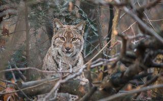Бесплатные фото lynx,bobcat,рысь,взгляд