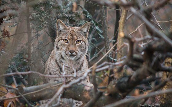 Фото бесплатно lynx, bobcat, рысь