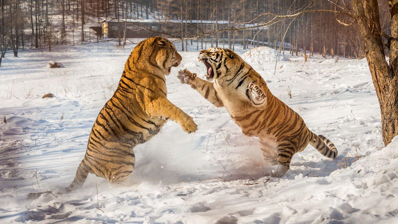 Фото бесплатно тигр, смертельная схватка, зима, сугробы, хищник, животное, тигры, животные, хищники, животные