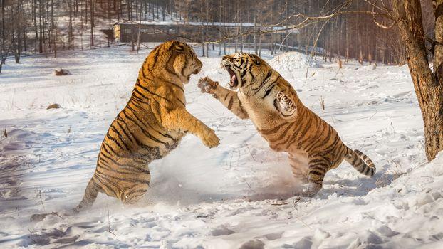 Фото бесплатно тигр, смертельная схватка, зима