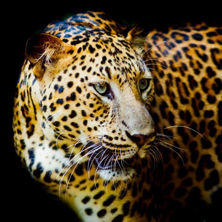 Самые красивые фото портрет леопарда, леопард