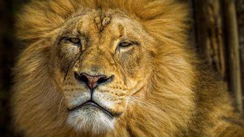 Бесплатные фото львица,лев,львы,хищник,животное,морда