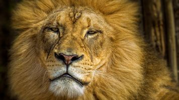 Photo free lions, predator, muzzle