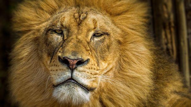 Заставки львица, лев, львы