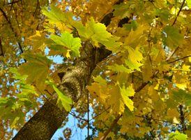 Фото бесплатно Прогулка, осень, Клён