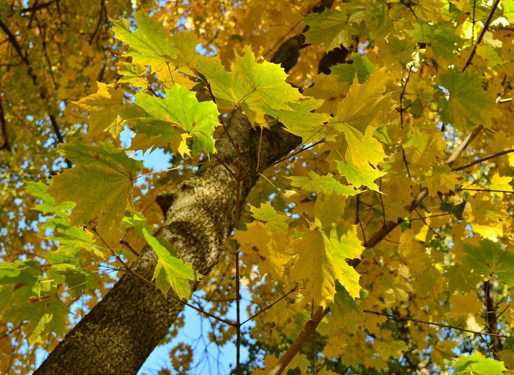 Фото бесплатно Прогулка, осень, Клён - на рабочий стол