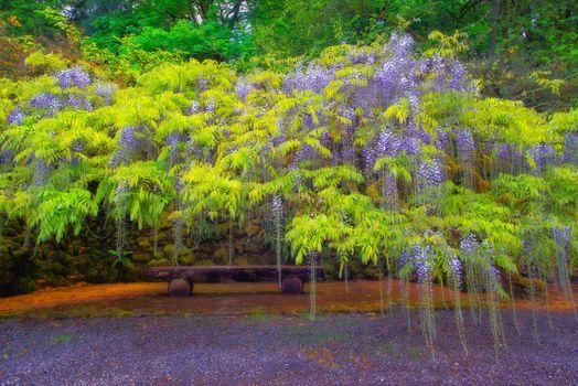 Фото бесплатно Вистерия, цветы и листья, сад, Портленд, штат Орегон, дерево, парк, скамейка, пейзаж