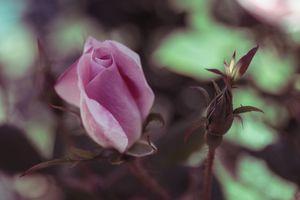 Закрытая роза