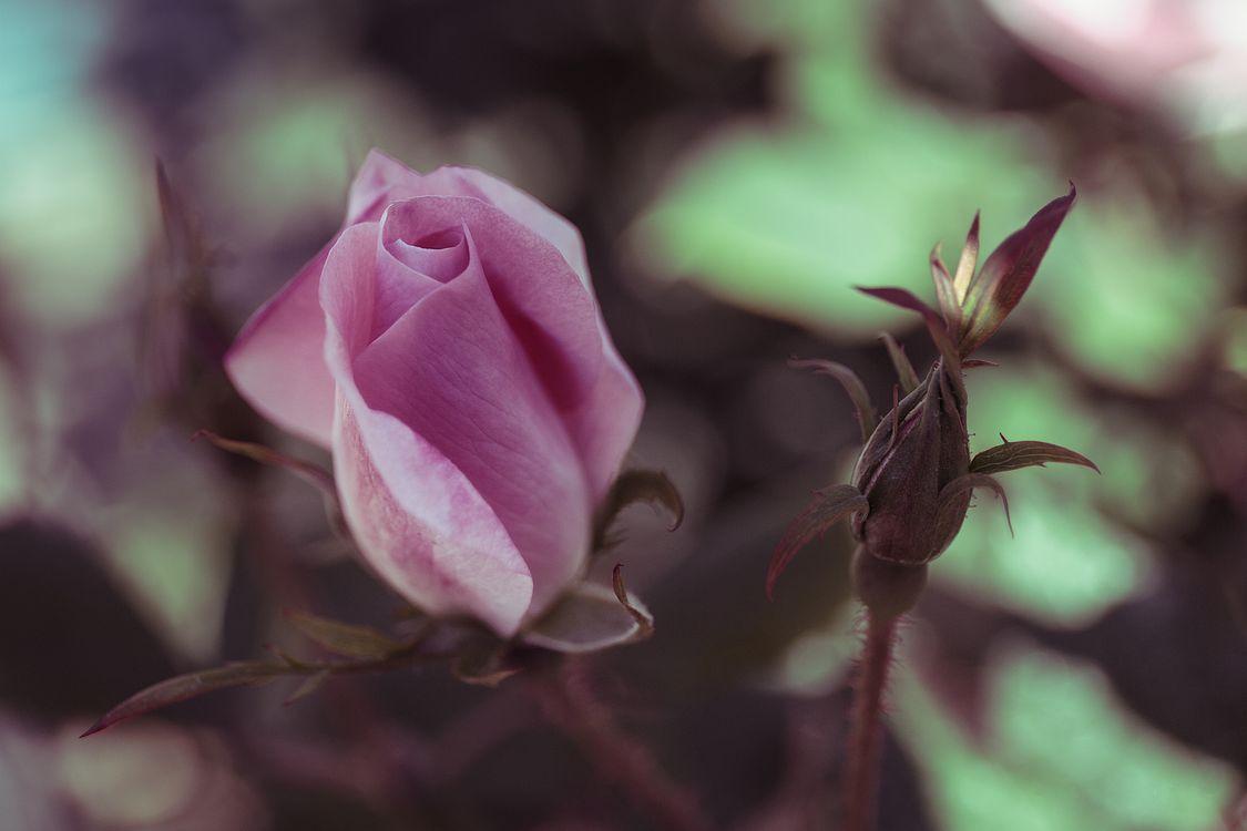 Закрытая роза · бесплатное фото