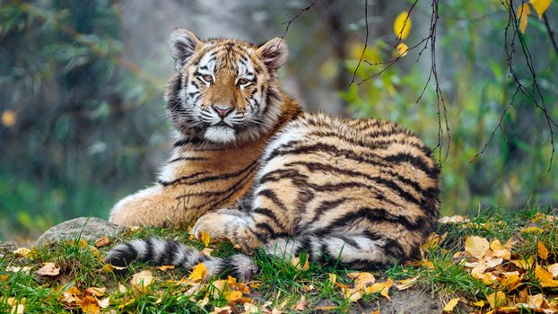 Tiger cub in the autumn · free photo