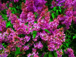 Бесплатные фото букет сирени,сирень,цветы,флора