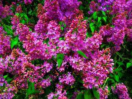 Фото бесплатно цветы, сирень, букет сирени