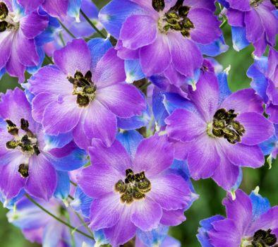 Заставки Дельфиниум, цветы, цветочная композиция