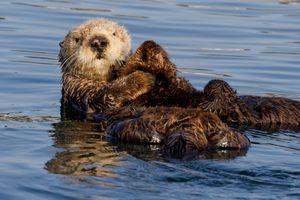 Фото бесплатно калан, Southern Sea, Otter