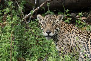 Бесплатные фото взгляд,ягуар,сельва,Jaguar,French Guiana