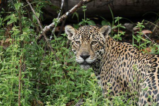 Фото бесплатно взгляд, ягуар, сельва