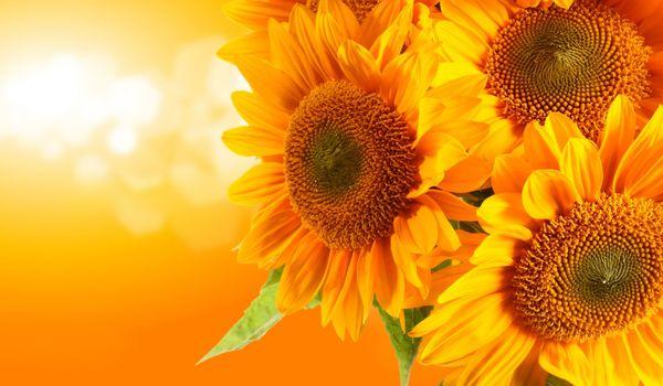 Photo free art, bokeh, sunflowers