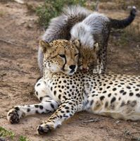 Photo free Cheetah Mother, Cubs, female