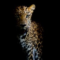 Обои леопард, леопард портрет высокого качества
