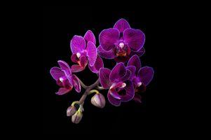 Фото бесплатно цветы, черный фон, орхидеи