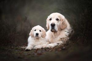 Мама и малыш ретриверы · бесплатное фото