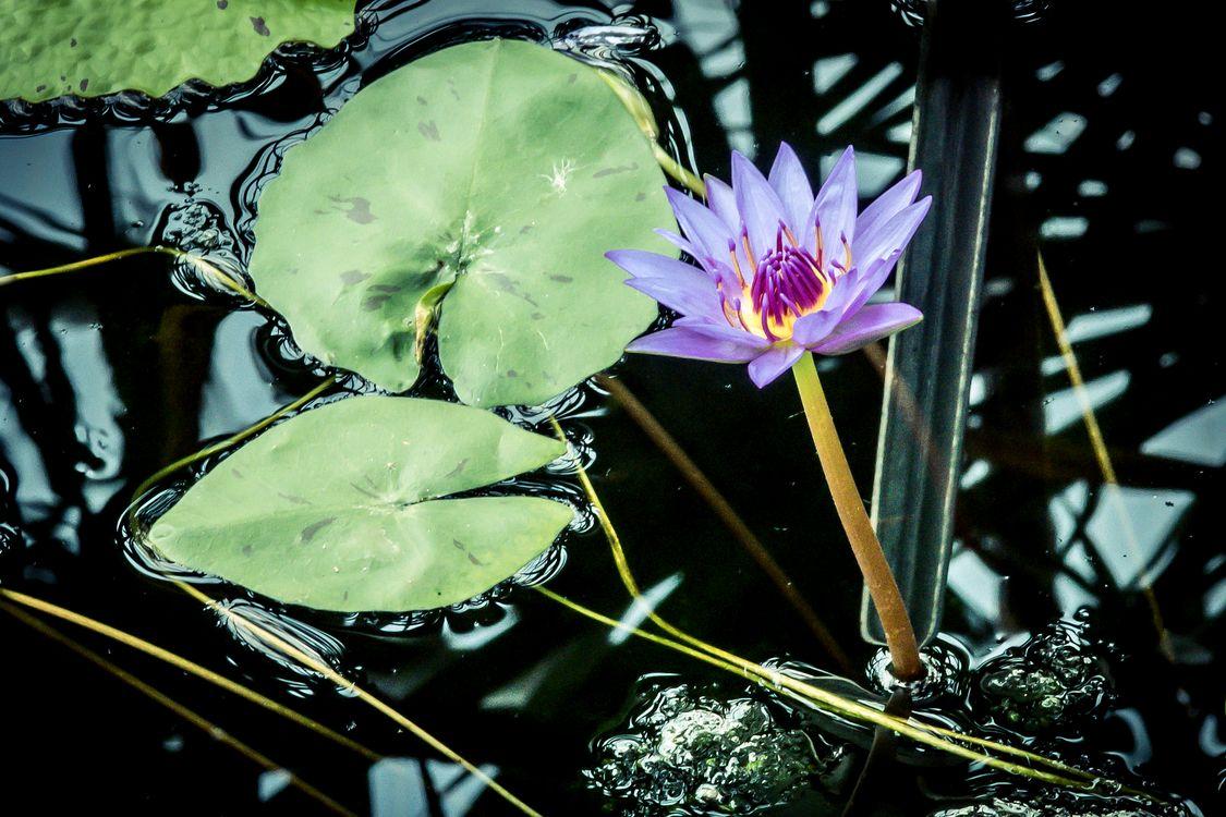 Речная лилия · бесплатное фото