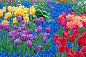 Фото бесплатно тюльпаны, тюльпан, цветы, цветок, флора