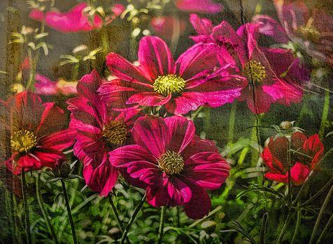 Photo free cosmos bipinnatus, flower, flower arrangement