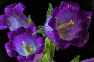 Фото бесплатно Колокольчик, цветок, цветы, флора, цветочный, цветение, цветочная композиция