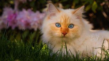 Голубоглазый котёнок с рыжими отметинами