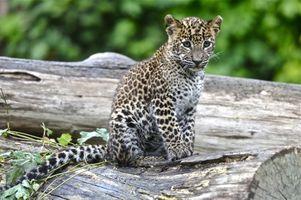Фото бесплатно leopard, cub, леопард, взгляд