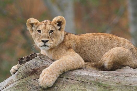 Фото бесплатно поза, большая кошка, лев
