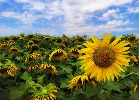 Фото бесплатно поле, много подсолнухов, флора