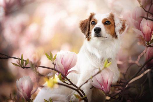 Собака с цветущей магнолией