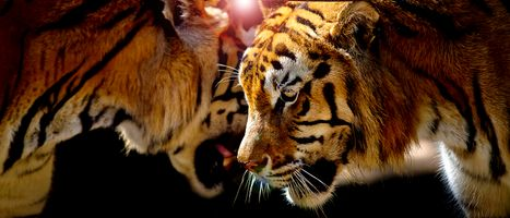 Photo free tiger, portrait of a tiger, predator