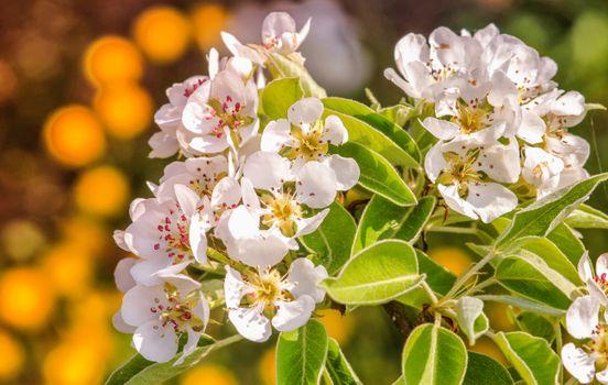 Бесплатные фото груша,цветущая ветка,цветение,весна,цветы,флора