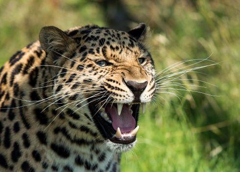 Photo free predator, leopard grin big cat, aggression