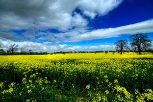 Поле из желтых цветов