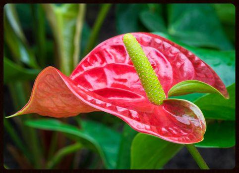 Заставки Anthurium,Painted Tongue,комнатное растение,цветок