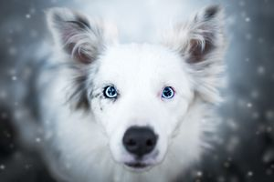 Зимняя аусси