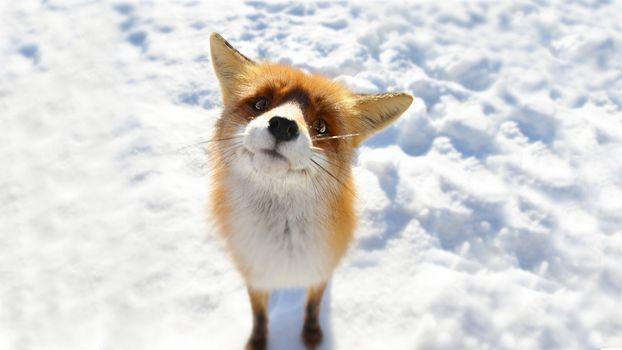 Фото бесплатно животные, снег, лиса