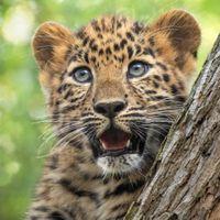 Удивленный леопард