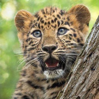 Удивленный леопард · бесплатное фото