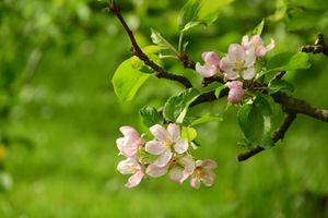 Яблони в саду · бесплатное фото