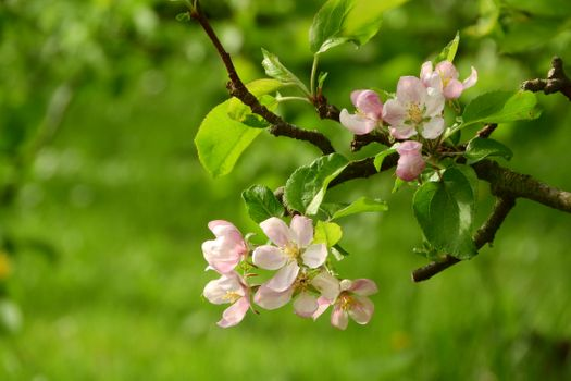 Apple trees in the garden · free photo
